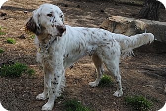 English Setter Mix Dog for adoption in Richmond, Virginia - Cameron (pic link) Need Foster