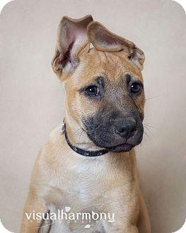 Shepherd (Unknown Type)/Hound (Unknown Type) Mix Puppy for adoption in Phoenix, Arizona - Alice