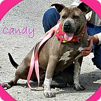 Pit Bull Terrier Mix Dog for adoption in Lawrenceburg, Tennessee - Candy