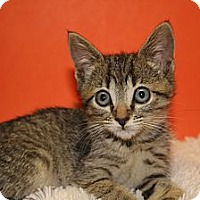 Adopt A Pet :: ABIGAIL - SILVER SPRING, MD