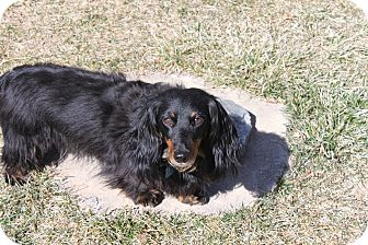 Dachshund Dog for adoption in Louisville, Colorado - Ricky
