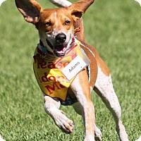 Adopt A Pet :: Adams - Tampa, FL