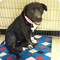 Adopt A Pet :: Harmony - Las Vegas, NV