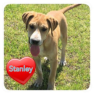 Hound (Unknown Type) Mix Puppy for adoption in Ravenna, Texas - Stanley
