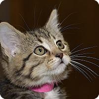 Adopt A Pet :: Angelou - Medina, OH