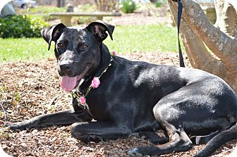 Labrador Retriever/Whippet Mix Dog for adoption in Stafford, Virginia - Coco