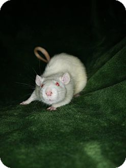 Rat for adoption in Welland, Ontario - Lordie