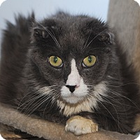 Domestic Mediumhair Cat for adoption in Middletown, New York - Beach Ball