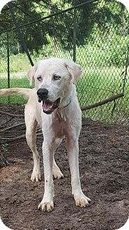 Great Pyrenees/Husky Mix Dog for adoption in Providence, Rhode Island - Fiyero