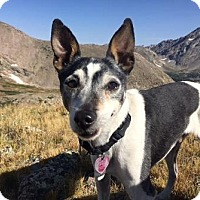 Rat Terrier Dog for adoption in Colorado Springs, Colorado - Utah