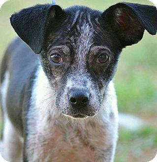 Rat Terrier/Italian Greyhound Mix Dog for adoption in Boca Raton, Florida - Baby Girl