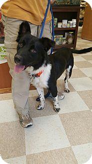 Australian Shepherd/Blue Heeler Mix Dog for adoption in Kingman, Kansas - Nelson