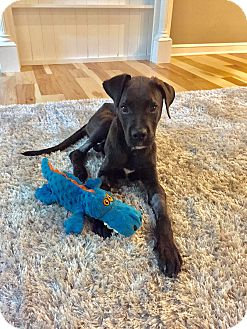 Labrador Retriever/Great Dane Mix Puppy for adoption in Columbus, Ohio - Ralphie