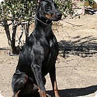 Adopt A Pet :: Apollo - Phelan, CA