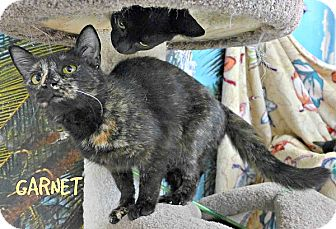 Domestic Shorthair Cat for adoption in Spring Brook, New York - Garnette