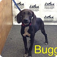 Adopt A Pet :: Buggs - Waycross, GA