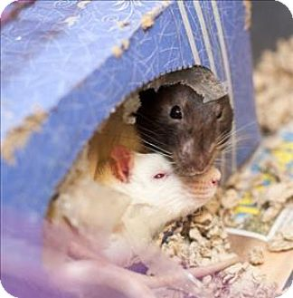 Rat for adoption in Concord, New Hampshire - Reese