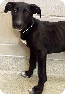 Labrador Retriever Mix Puppy for adoption in Oswego, Illinois - Ursula