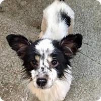 Adopt A Pet :: Jazzy Belle - Buffalo, NY