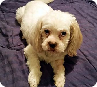 Lhasa Apso Mix Dog for adoption in Detroit, Michigan - Paczki-Adopted!