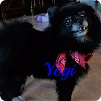 Adopt A Pet :: Yogi - Maitland, FL