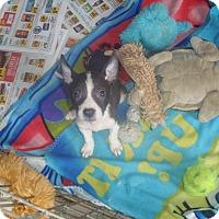 Adopt A Pet :: Gizmo - Old Bridge, NJ