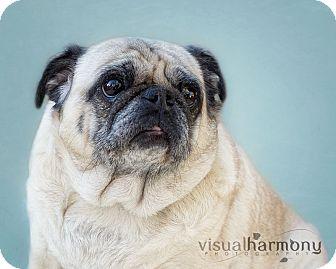 Pug Dog for adoption in Phoenix, Arizona - Millie