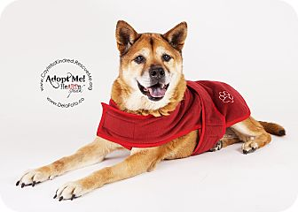 Shiba Inu/Chow Chow Mix Dog for adoption in Denver, Colorado - Hiro