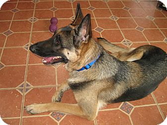 German Shepherd Dog Dog for adoption in Greeneville, Tennessee - Kimba