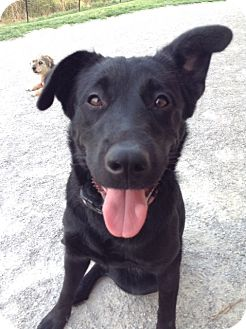 Labrador Retriever/Shepherd (Unknown Type) Mix Dog for adoption in Mansfield, Ohio - Rosie