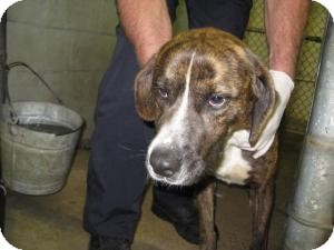 Hound (Unknown Type) Mix Dog for adoption in Rocky Mount, North Carolina - Sebastian