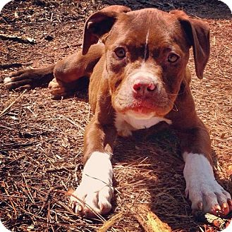 American Pit Bull Terrier Mix Puppy for adoption in Snellville, Georgia - Chloe