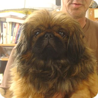 Pekingese Dog for adoption in baltimore, Maryland - Chile