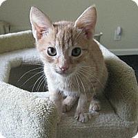 Adopt A Pet :: Blitzen - Irvine, CA