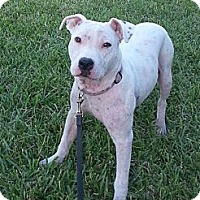 Adopt A Pet :: Olivia - Hollywood, FL