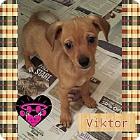 Chihuahua/Terrier (Unknown Type, Small) Mix Puppy for adoption in Fowler, California - Viktor