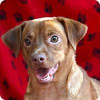 Adopt A Pet :: BO - san diego, CA
