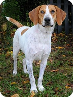 Media, PA - Foxhound/Beagle Mix. Meet Emma a Dog for Adoption.