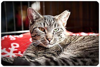 Domestic Shorthair Cat for adoption in Middletown, New York - Pharrell