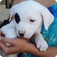 Adopt A Pet :: Kodiak Bear - Gainesville, FL