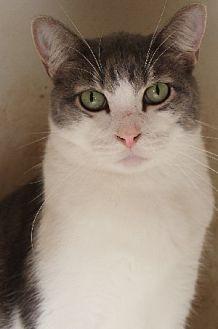 Domestic Shorthair Cat for adoption in Savannah, Missouri - Daniel