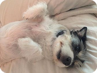 Jack Russell Terrier Dog for adoption in Olive Branch, Mississippi - Miss Bee