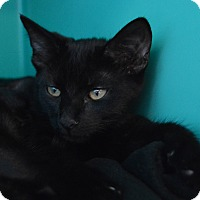 Domestic Shorthair Kitten for adoption in Richmond, Virginia - Baby