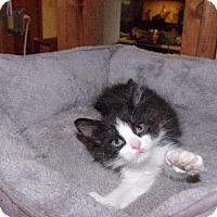 Adopt A Pet :: Jaime Lannister - St. Louis, MO