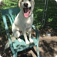 Labrador Retriever/Great Pyrenees Mix Dog for adoption in Enfield, Connecticut - Durango