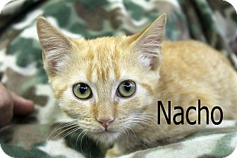 Domestic Shorthair Kitten for adoption in Wichita Falls, Texas - Nacho