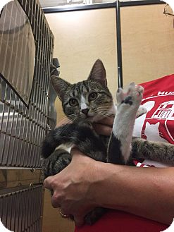 Domestic Shorthair Cat for adoption in Pulaski, Tennessee - Lucy