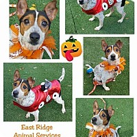 Jack Russell Terrier Mix Dog for adoption in Columbia, Tennessee - Vice/TN