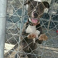 American Staffordshire Terrier Mix Dog for adoption in Palmdale, California - Sammy