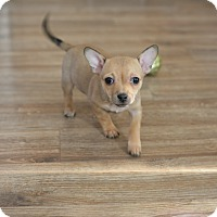 Adopt A Pet :: Pearl-adoption pending - Greeley, CO